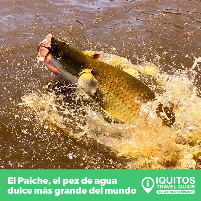 El Paiche: el pez de agua dulce más grande del mundo