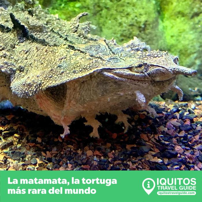 La tortuga matamata: la tortuga más rara del mundo