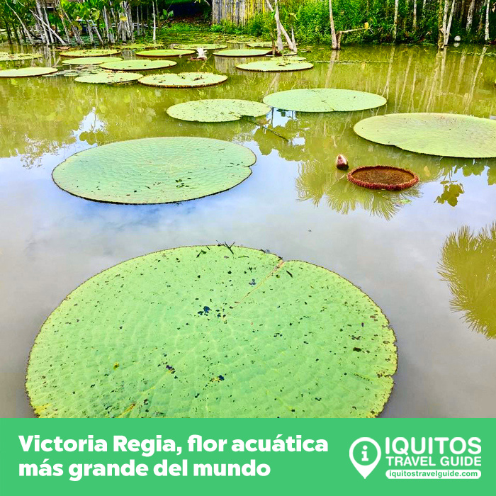 Victoria Regia: la flor acuática más grande del mundo