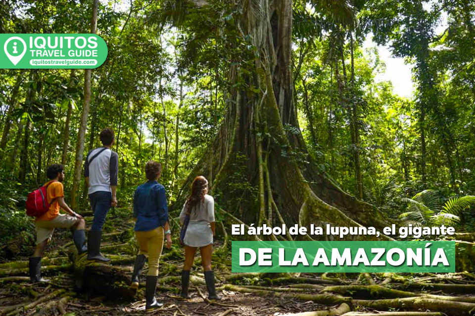 El árbol de la Lupuna, el gigante de la amazonía peruana